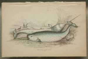 """The Narwhal of Sea Unicorns"" By F. Cuvier"